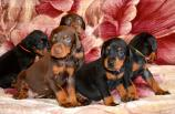 38 days old puppies from Toscano and Zora
