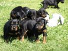 PUPPIES 4 WEEKS OLD