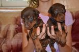 25 DAYS OLD PUPS FROM EFES ETO GINGA HOUSE AND HARMONIE BETELGES
