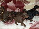 18 days old puppies from Xenia for Betelges del Nasi & Zedor del Nasi