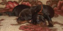 brown females from Zeus & Jenifer at age 11 days