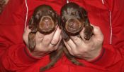 brown males from Zeus & Jenifer at age 11 days